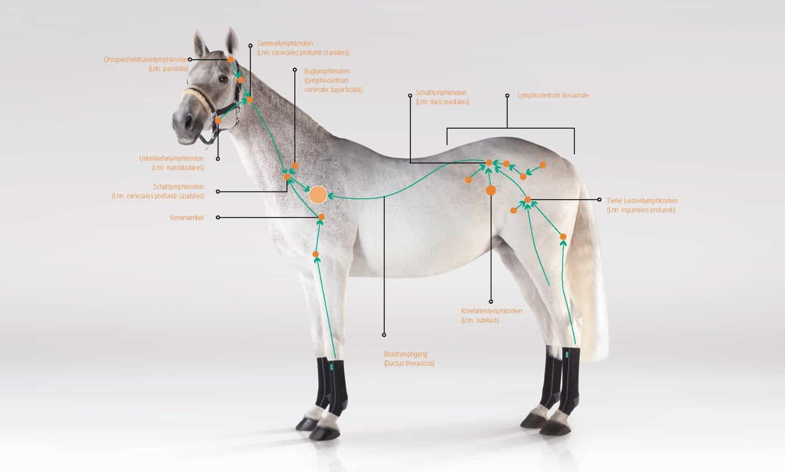Das Lymphsystem des Pferdes